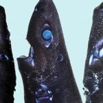 """ニンジャカラスザメの画像と生態!""""忍者""""という命名の由来とは?"""