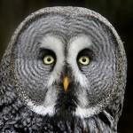 カラフトフクロウは顔が怖い!?鳴き声や性格や寿命、販売は?値段はいくら?