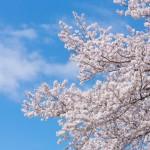 東京のお花見2016、おすすめ穴場スポット5選を紹介!デートにも最適です!